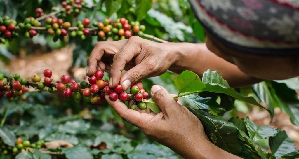 Koffiebessen worden geplukt - Orange Blend